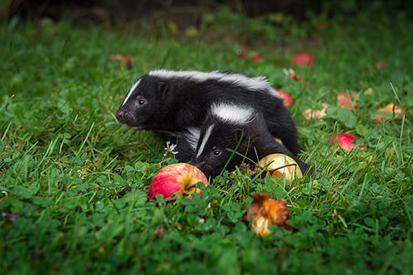 skunks like apples