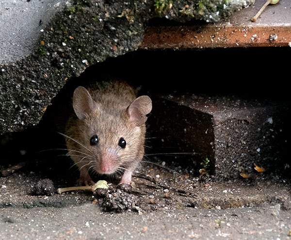 mice in the garage